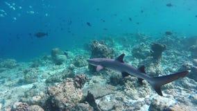 Ένα Whitetip reefshark κολυμπά μέσω μιας κοραλλιογενούς υφάλου απόθεμα βίντεο