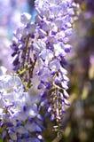 Ένα wisteria συστάδων Στοκ εικόνες με δικαίωμα ελεύθερης χρήσης