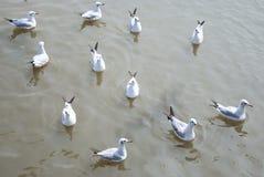 ένδεκα seagulls Στοκ Φωτογραφία