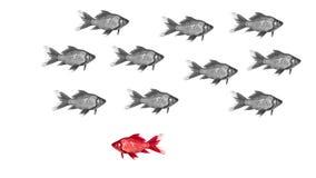Έννοια διάκρισης - goldfish κολυμπήστε τη διάκριση ενός διαφορετικού χρωματισμένου ψαριού Στοκ Εικόνες