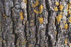 Έννοια κινηματογραφήσεων σε πρώτο πλάνο φύσης δέντρων φλοιών - φλοιός του ξύλου με τη λειχήνα ως α Στοκ εικόνες με δικαίωμα ελεύθερης χρήσης