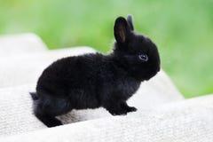 Έννοια λαγουδάκι Πάσχας Μικρό χαριτωμένο κουνέλι, χνουδωτό μαύρο κατοικίδιο ζώο μαλακή εστίαση, ρηχό βάθος του διαστήματος αντιγρ Στοκ φωτογραφία με δικαίωμα ελεύθερης χρήσης
