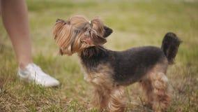 Έννοια οικογένειας, κατοικίδιων ζώων, ζώων και ανθρώπων - ευτυχές ζεύγος με το σκυλί που περπατά στο πάρκο απόθεμα βίντεο