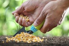 έννοια της σποράς, των χεριών με το εργαλείο και των σπόρων καλαμποκιού στο χώμα Στοκ Εικόνες