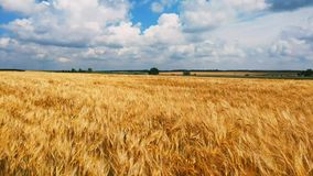 Έννοια του ψωμιού και της γεωργίας Ταλαντεύσεις συγκομιδών σίτου στον τομέα ενάντια στο μπλε ουρανό Ηλέκτρινα κύματα του σίτου απόθεμα βίντεο