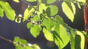 Έννοια φύσης καλοκαιριού ή άνοιξης με τα πράσινα φύλλα απόθεμα βίντεο