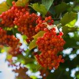 Έννοια φύσης - πλούσια συγκομιδή του viburnum στο χρόνο φθινοπώρου εποχιακός Στοκ Εικόνες