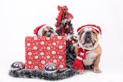 Έννοια Χριστουγέννων με τα μπουλντόγκ Στοκ Φωτογραφία