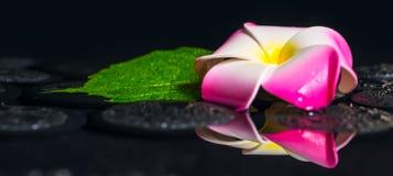 Έννοια SPA πράσινα hibiscus φύλλων, plumeria με τις πτώσεις στο zen β Στοκ εικόνες με δικαίωμα ελεύθερης χρήσης