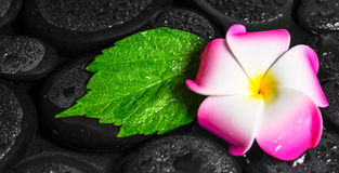 Έννοια SPA πράσινα hibiscus φύλλων, plumeria στην πέτρα βασαλτών zen Στοκ Εικόνες