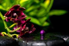 Έννοια SPA του σκοτεινών phalaenopsis και της πασχαλιάς ορχιδεών λουλουδιών κερασιών Στοκ Εικόνες