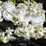 Έννοια SPA των πετρών zen, ανθίζοντας δαμάσκηνο κλαδίσκων, άσπρες πετσέτες, clo Στοκ φωτογραφία με δικαίωμα ελεύθερης χρήσης