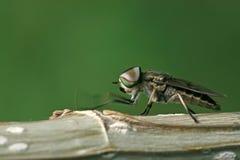 Έντομα μυγών Στοκ Φωτογραφίες