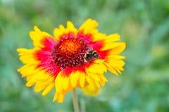 Έντομα που επικονιάζουν το aristata gaillardia λουλουδιών Στοκ Φωτογραφίες