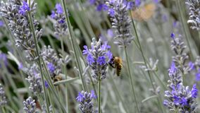 Έντομα σε Lavandula απόθεμα βίντεο