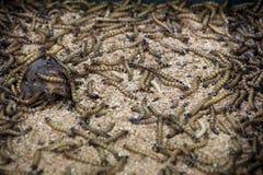 Έντομα σκουληκιών, τροφή για τα ερπετά στοκ φωτογραφία