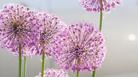 Έντομα στο λουλούδι κρεμμυδιών απόθεμα βίντεο