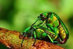 Έντομο αναπαραγωγής Στοκ Φωτογραφία
