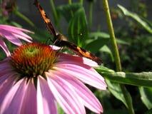 Έντομο και λουλούδι Στοκ Φωτογραφία