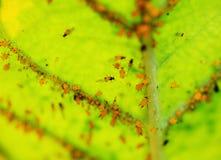 Έντομο κωχενιλλών στοκ φωτογραφίες