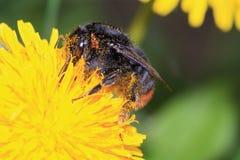 έντομο λουλουδιών κίτρινο Στοκ Εικόνες