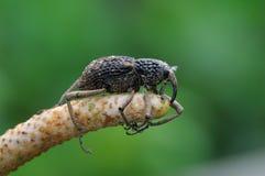Έντομο, μακρο ρυγχωτός κάνθαρος Στοκ Φωτογραφία