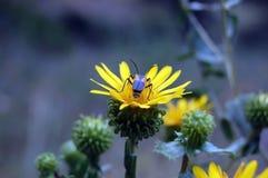 Έντομο μελισσών σε ένα κίτρινο λουλούδι Pollenating Στοκ Φωτογραφία