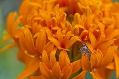 Έντομο με το πέταλο. Στοκ Φωτογραφίες