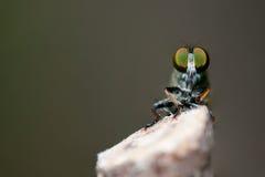 έντομο μυγών Στοκ Εικόνες