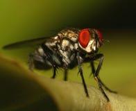 έντομο μυγών Στοκ Φωτογραφία