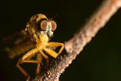 Έντομο μυγών Στοκ εικόνα με δικαίωμα ελεύθερης χρήσης