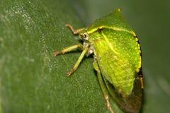 Έντομο, παρόμοιο με ένα μικρό πράσινο φύλλο Μακροεντολή Στοκ Εικόνες