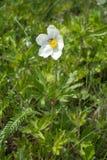 Έντομο που επικονιάζει το άσπρο λουλούδι των sylvestris Anemone Στοκ εικόνα με δικαίωμα ελεύθερης χρήσης