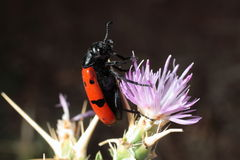 Έντομο σε ένα ιώδες λουλούδι Στοκ Εικόνα
