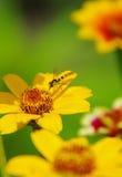 Έντομο σε ένα κίτρινο λουλούδι Στοκ Φωτογραφίες