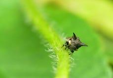 Έντομο στη Μαλαισία Στοκ Φωτογραφία