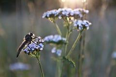 Έντομο στο άγριο λουλούδι στο λιβάδι στοκ εικόνες