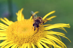 Έντομο στο κίτρινο άνθος Στοκ φωτογραφίες με δικαίωμα ελεύθερης χρήσης