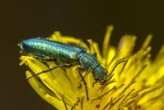 Έντομο στο κίτρινο λουλούδι Στοκ Εικόνα