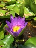 Έντομο στο Lotus Στοκ Εικόνα