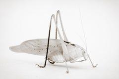 Έντομο Katydid Στοκ Φωτογραφίες