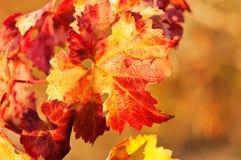 Έντονα χρώματα του φθινοπώρου στα φύλλα της αμπέλου στοκ φωτογραφία