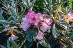 Έντονη ρόδινη μακροεντολή λουλουδιών Στοκ Φωτογραφίες