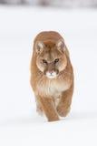 Έντονος κοιτάξτε του πορτρέτου λιονταριών βουνών Στοκ Εικόνες