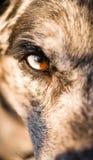 Έντονο κυνοειδές σκυλιών μοναδικό χρώμα μαθητών ματιών λύκων ζωικό Στοκ Φωτογραφίες
