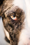 Έντονο κυνοειδές σκυλιών μοναδικό χρώμα μαθητών ματιών λύκων ζωικό Στοκ φωτογραφίες με δικαίωμα ελεύθερης χρήσης