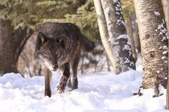Έντονο να φανεί μαύρο κυνήγι λύκων ξυλείας Στοκ Φωτογραφία