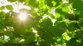 Έντονο φως του ήλιου στα φύλλα ξύλων καρυδιάς απόθεμα βίντεο