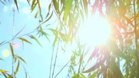Έντονο φως του ήλιου σε μια ιτιά απόθεμα βίντεο