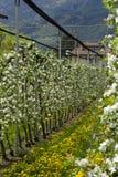 δέντρα μηλιάς στα άνθη Στοκ Φωτογραφίες